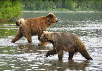 Bears o the Kuril Lake